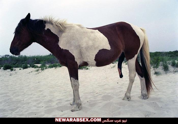 حصان جميل زبره منتصب