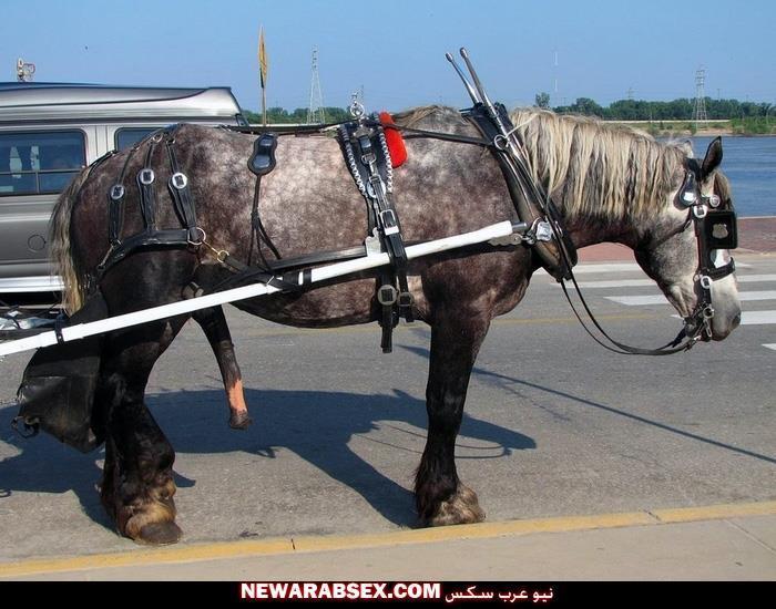 حصان قضيبه منتصب