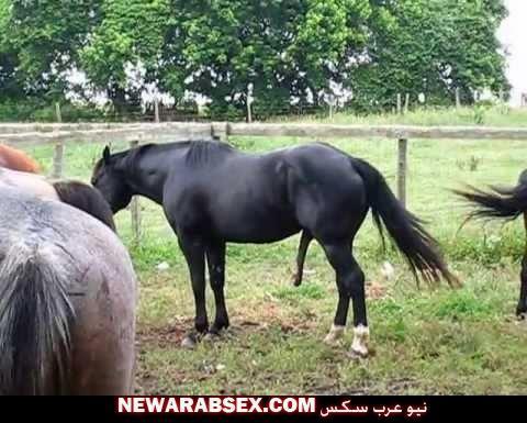 زب الحصان وهو منتصب