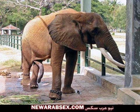 قضيب الفيل